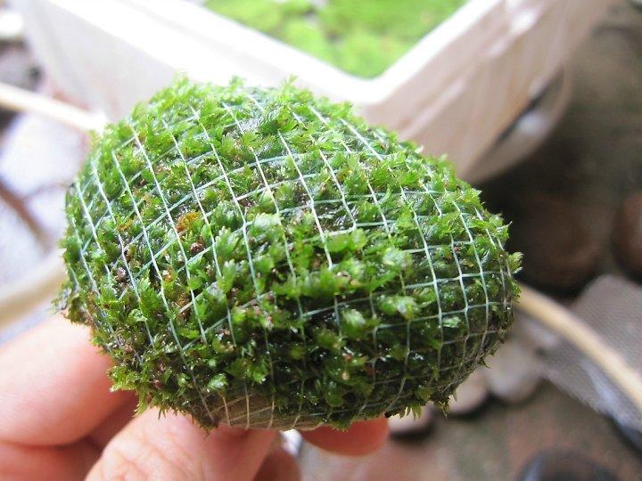 kinh nghiệm xử lý mini fiss thủy sinh bám đất lá cạn -  dùng cước cố định fiss vào đá