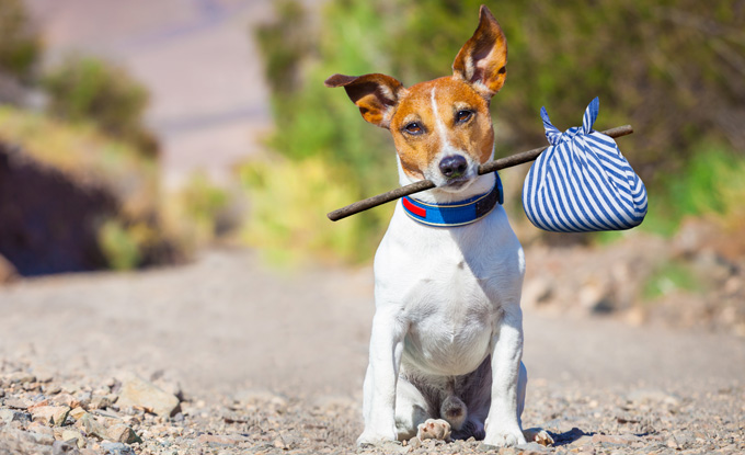 Jack Russell Terrier dog alone on the road carrying a stick and a bundle