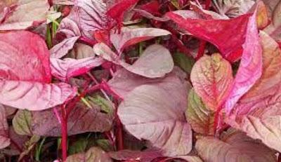 manfaat daun bayam merah untuk kesehatan