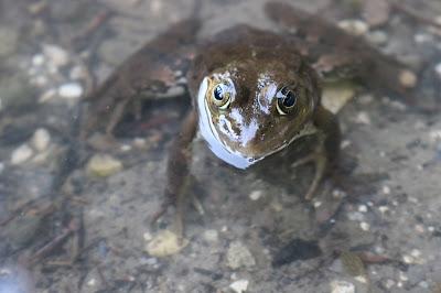 Kurbağa Gölcük Bolu