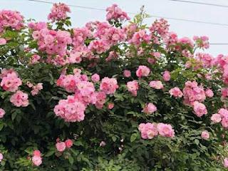 hình ảnh hoa hồng leo tầm xuân