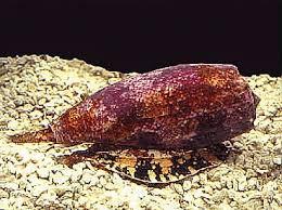 Cone Snail atau Siput kerucut