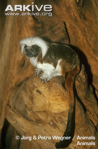 Cotton headed tamarin
