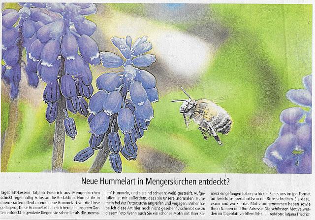 Tageszeitung Weilburg,Hummel,Nahaufnahme,Weilburger Tageblatt