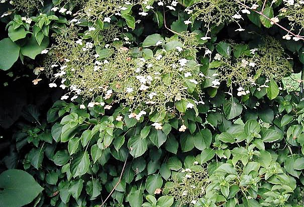 Mature Hydrangea petiolaris growing up wall