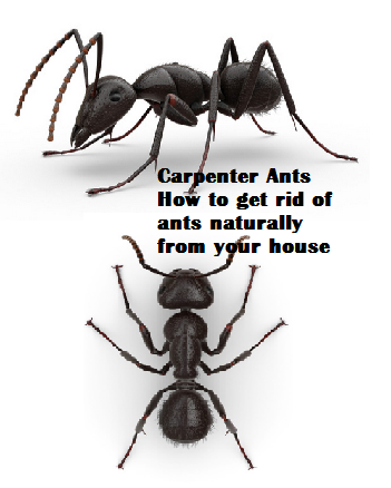 Carpenter Ants How to get rid of ants naturally from your house