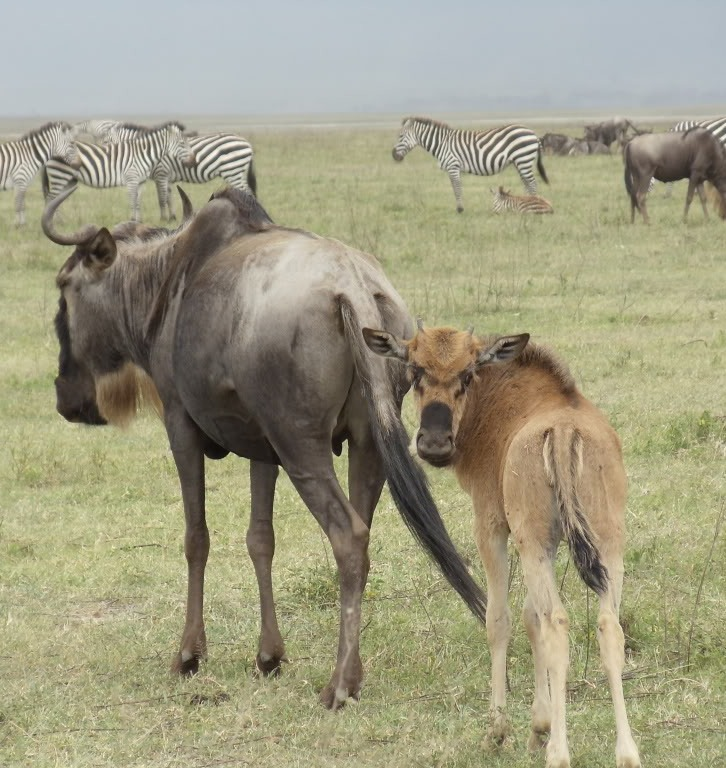 Picture of a mother and cub of a wildebeest.