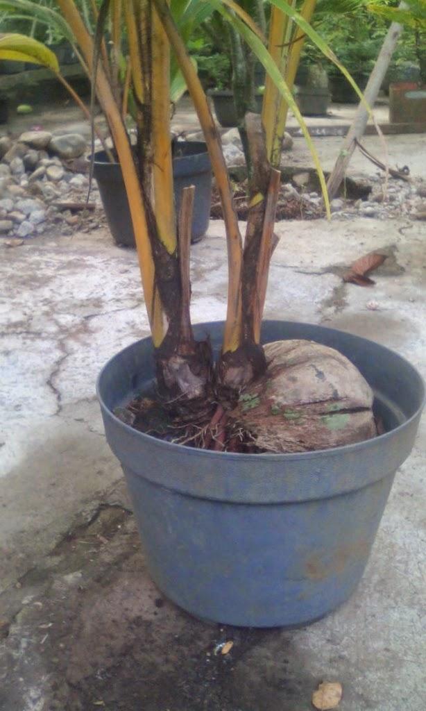 kelapa unik 2 tunas dalam pot