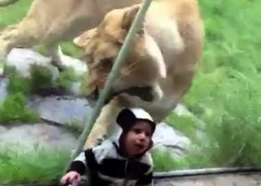 أسد يحاول اكل طفل