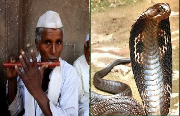 Village of Cobra Snakes-Amazing