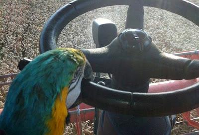 Seekor burung Nuri ditemukan tengah menyetir sebuah kendaraan pertanian di kawasan Sufflok Karena Kelaparan, Seekor Burung Nuri Nekad Menyetir Kendaraan Pertanian di Inggris