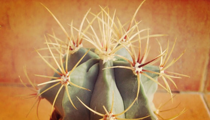 Bello ferocactus