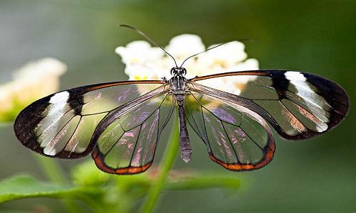 cam kanatlı kelebek