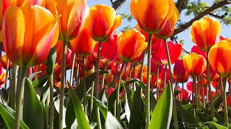 Wallpaper: Gorgeous Tulips