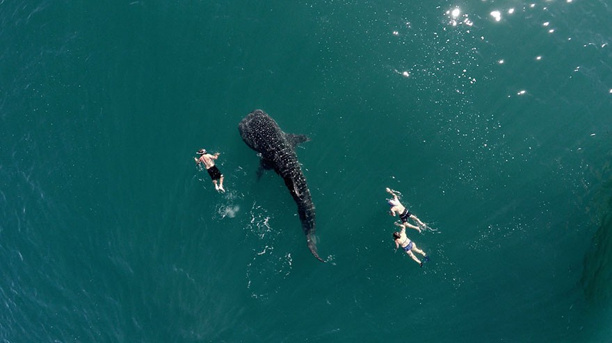 2. Whale Shark Swimming With Tourists - 12 of The Most Stunning Images Captured By Drones In 2015