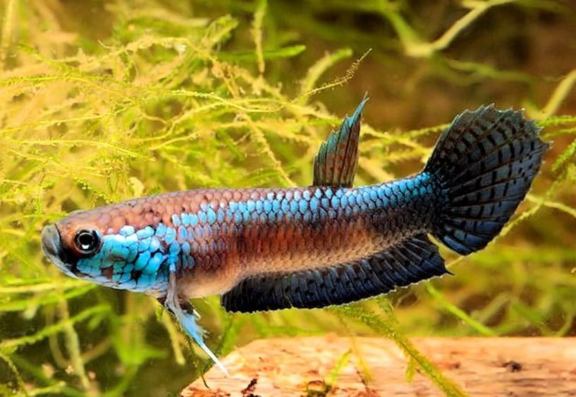 Dzargon. Ikan petarung atau yang lebih dikenal dengan nama ikan cupang adalah ikan dengan daya tahan hidup yang sangat tinggi. Ikan Cupang mampu hidup dalam keadaan air rendah oksigen karena ikan ini beradaptasi dengan mengambil oksigen di udara. Sebagai salah satu contoh daya tahan ini, bisa tetap hidup di dalam kantong plastik pada saat dikirim selama 4 sampai 5 hari, meskipun hal ini bukan jaminan untuk memperlakukan ikan ini buruk tetap dibutuhkan perawatan yang khusus agar ikan ini tumbuh sehat dan baik.