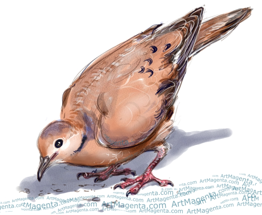 Zenaida Dove sketch painting. Bird art drawing by illustrator Artmagenta