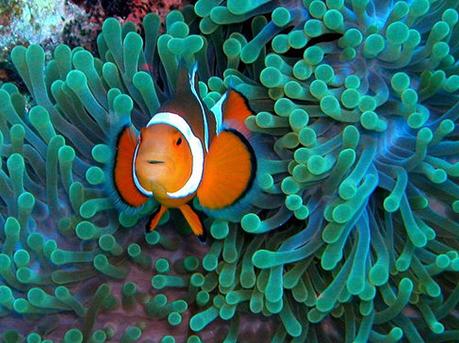 The Clown Fish