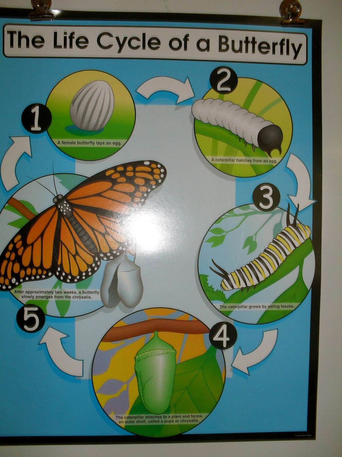 Welcome To Kindergarten The Life Cycle Of A Butterfly