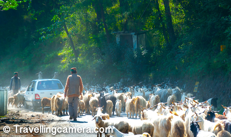 It's usual to encounter these herds of sheep on National Highway 5. We were excited when we encountered in first time, but gradually it became a pain as you easily waste 15 mins if the leader of this heard is not an expert. Trained herd can manage traffic themselves as they know where to move and how to create path for vehicles coming from both the directions.