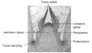Struktur jaringan meristem pada ujung batang tumbuhan