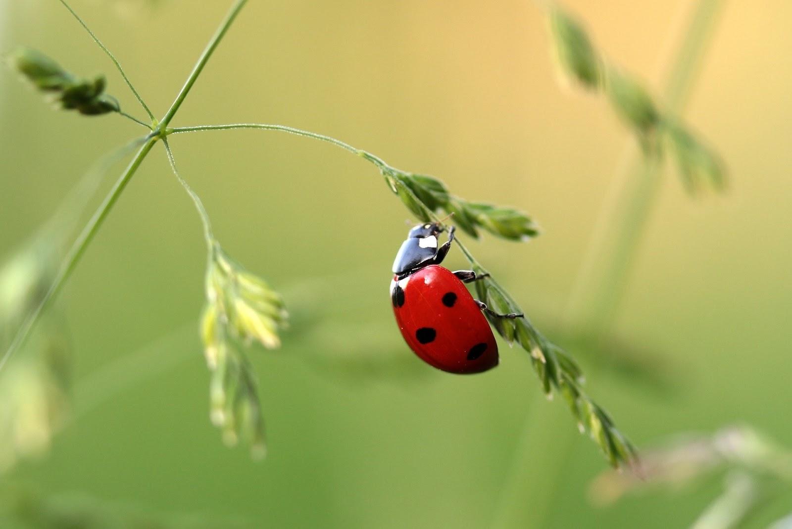 Hình nền con bọ đang đậu trên bông lúa