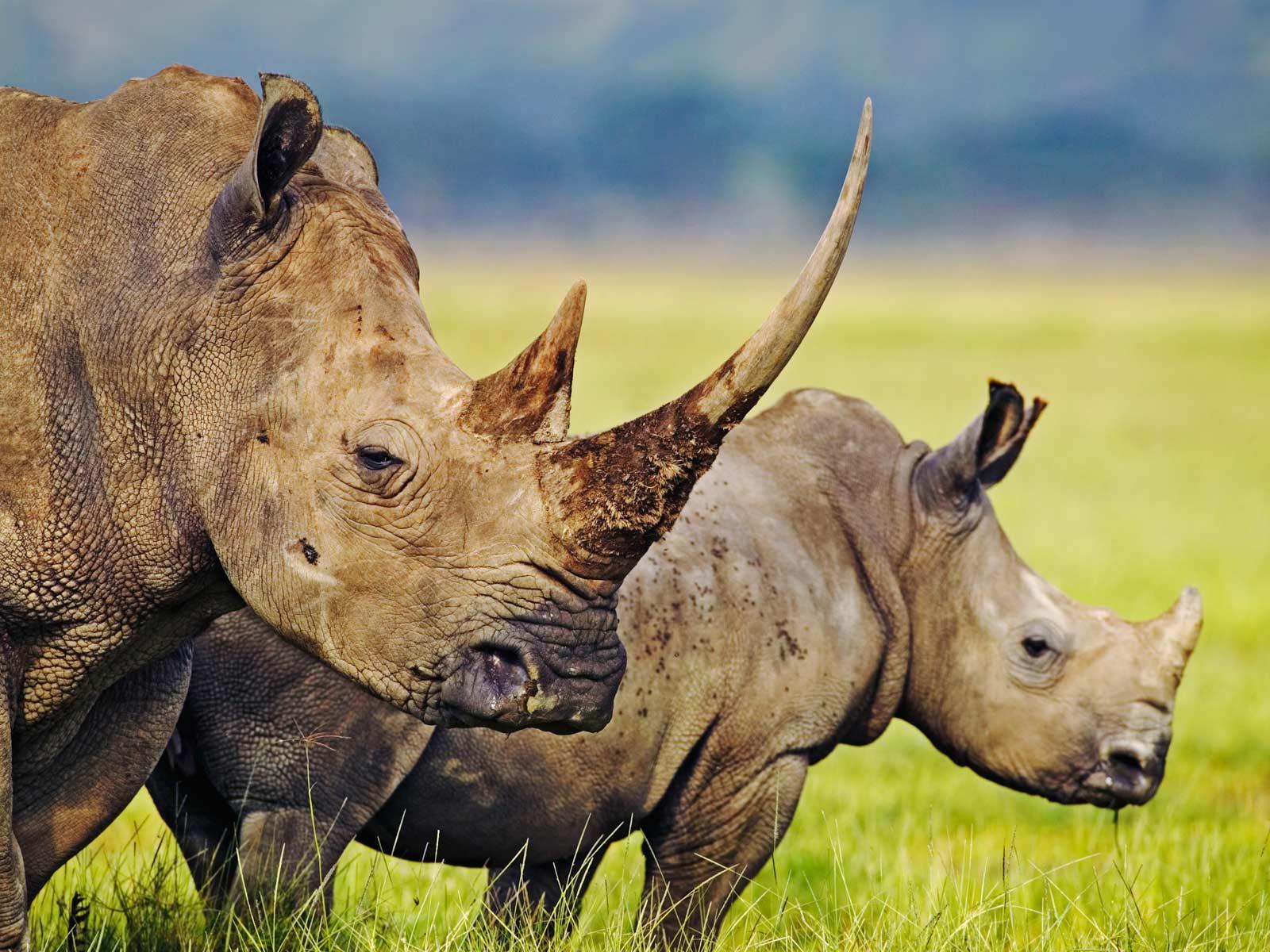 Rhinoceros Animal Wildlife
