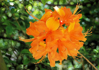 bunga azalea oranye