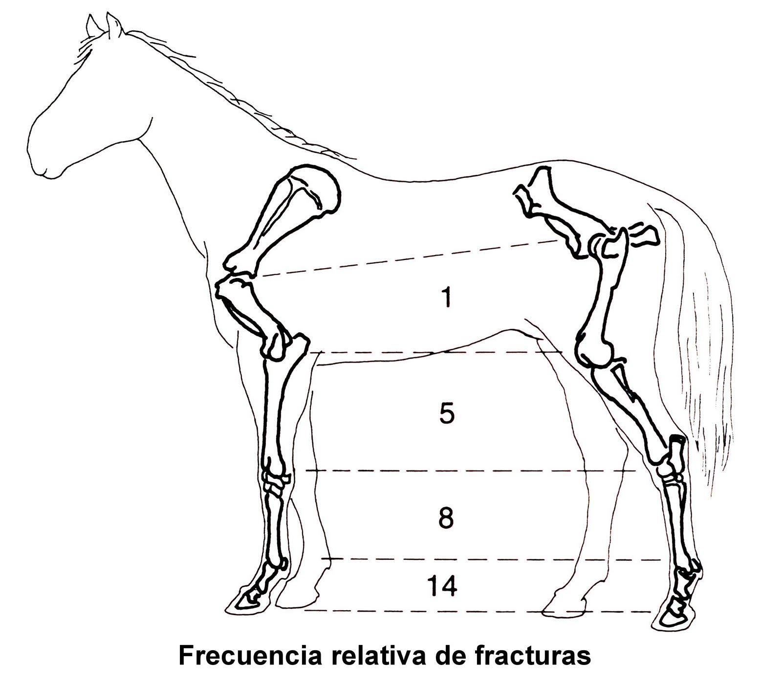 Moderno Anatomía ósea Del Caballo Motivo - Imágenes de Anatomía ...