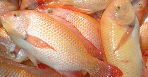 Begini Cara Memelihara Ikan Nila Supaya Cepat Besar