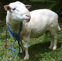 Domba Dorper Termasuk Jenis Domba Penghasil Daging Bermutu