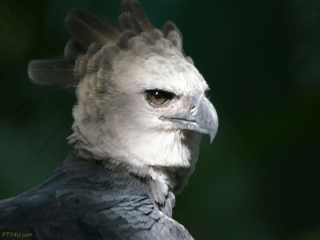 Fantastica Animal: Harpy Eagle Is Central America Animal