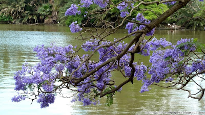 Purple Flowers over water