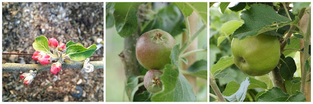 Ecklinville apple - 'growourown.blogspot.com'