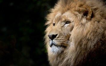 Wallpaper: Lion