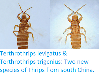 http://sciencythoughts.blogspot.co.uk/2017/10/terthrothrips-levigatus-terthrothrips.html