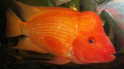 gambar ikan red devil berwarna merah