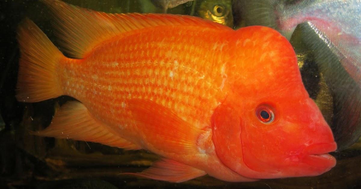 Red Devil Ikan Hias Penjajah Perairan Indonesia Nama Gambar Binatang A Z