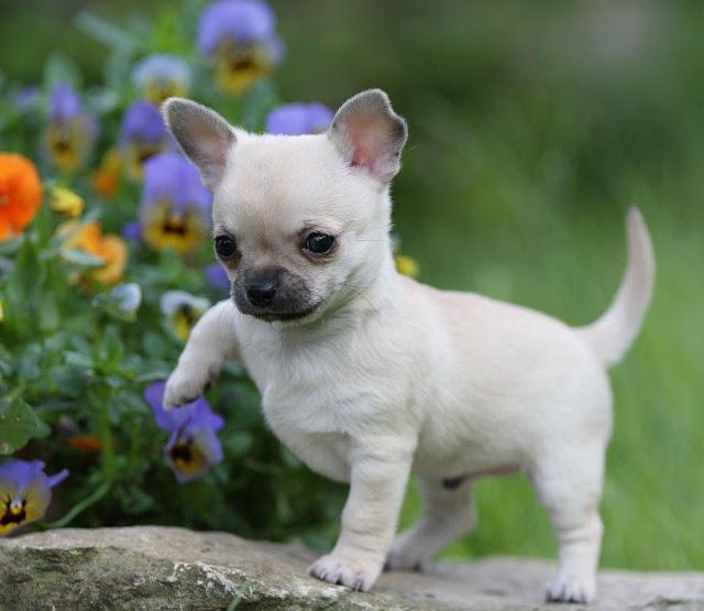 Chó cảnh Chihuahua
