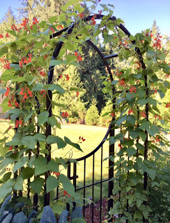 Photo of red-blossomed scarlet runner beans growing on an the trellis of an arched garden gate. https://trimazing.com/