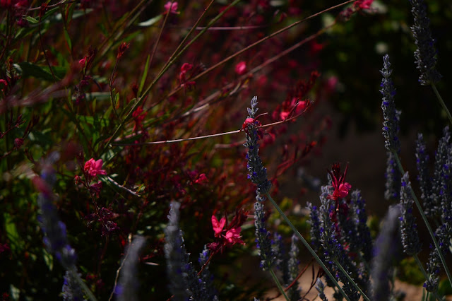 lavender, gaura, small sunny garden, garden bloggers bloom day, amy myers, desert garden