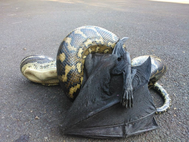 snake eating flying fox bat