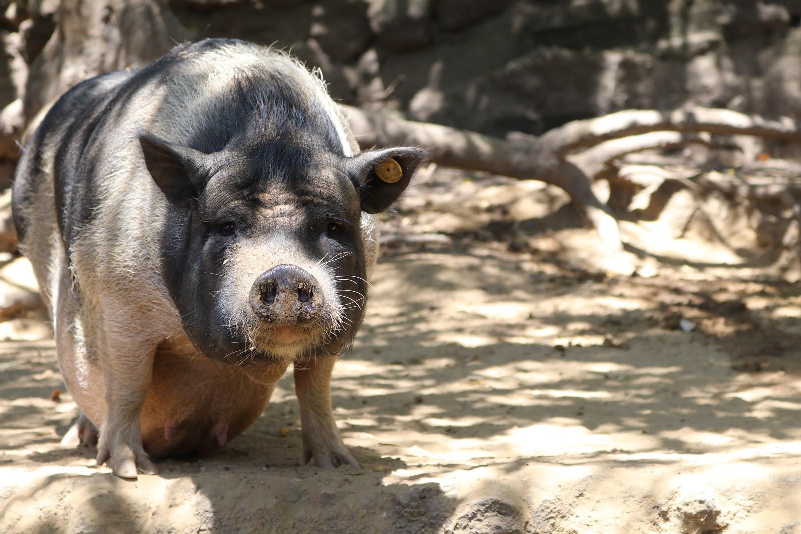 A Pig in Zoo De Castellar, Spain