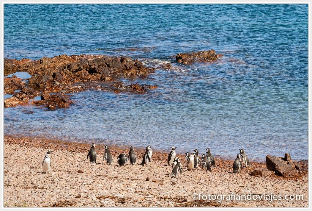 pingüinos de Magallanes en la Reserva faunistica de Cabo Dos Bahías en Patagonia Argentina
