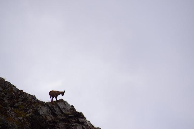 горный козел, серна, Турьи горы, Сочи, Активный отдых, Роза Хутор, Красная поляна, фото Андрей Думчев