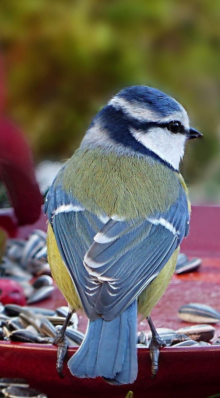 A blue tit.