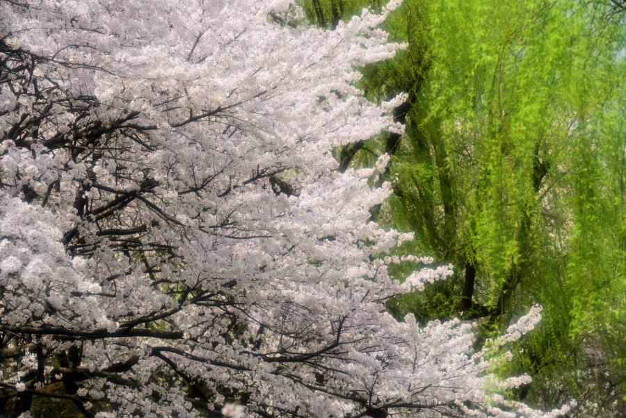 犀川緑地の桜