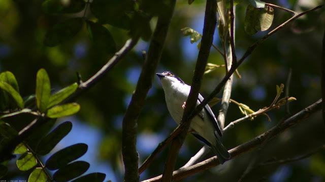 Hooded Tanager Nemosia pileata caerulea Saíra de Chapéu Preto Frutero Cabeza Negra male