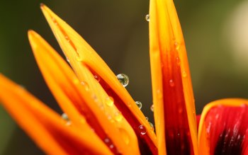 Wallpaper: Water Droplets on Petals