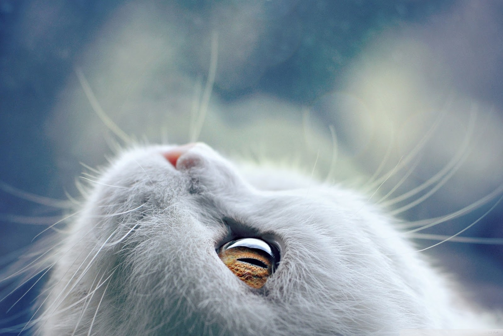 white cat looking up beautiful eyes desktop wallpaper